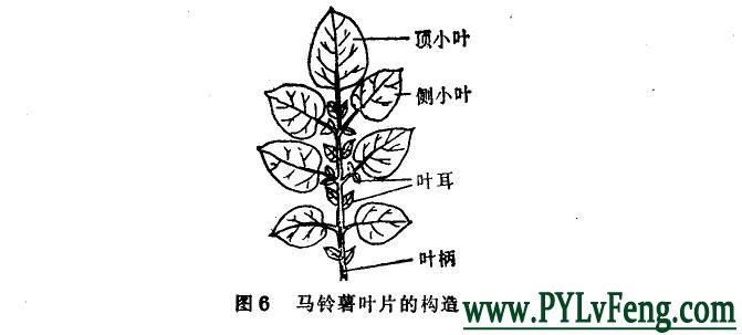 马铃薯(土豆)叶子有什么作用?叶片面积覆盖指数多少合适?