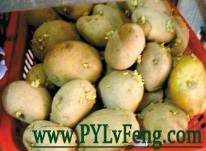 马铃薯种薯
