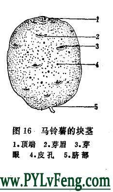 什么是马铃薯块茎?